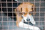 housebreak your beagle