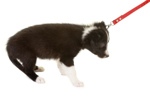 training a puppy to walk on a leash